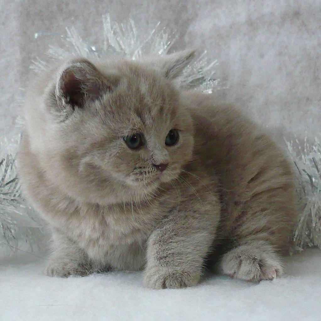 Британские котята в Санкт-Петербурге из питомника Allure